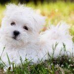 Жульничество с торговлей собаками на лазурном берегу